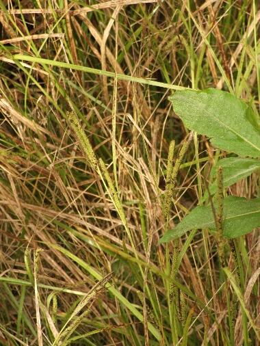 Carex2