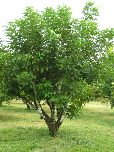 Ranbutantree