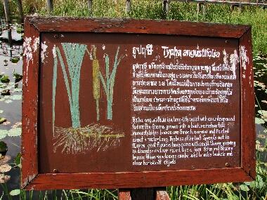 Typha_angustifolia
