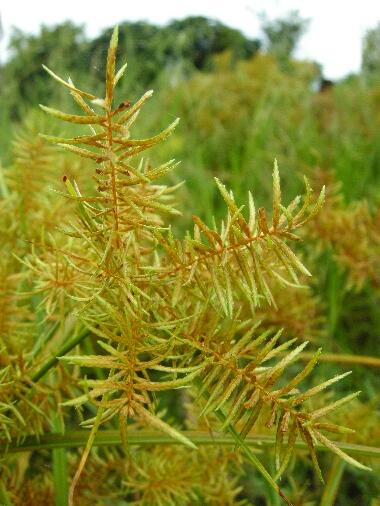 Cyperus_sp1