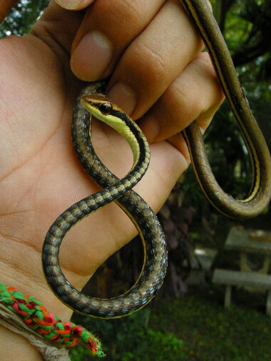 Tree_snake