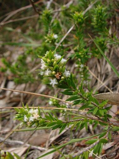 Leucopogon