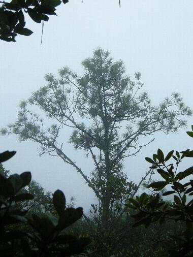 Pinus_kesiya