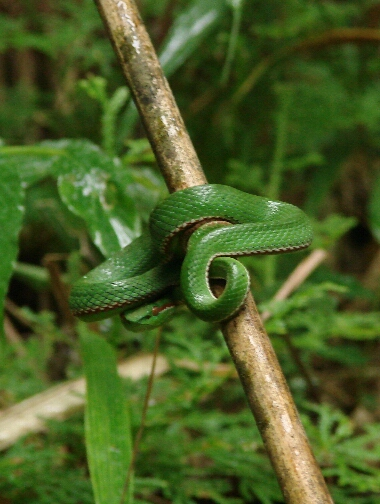 Greensnake