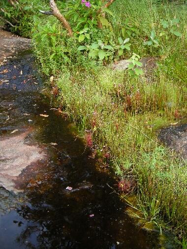 Xylia Xylocarpa: Phu Pha Thoep National Park: 植物三昧