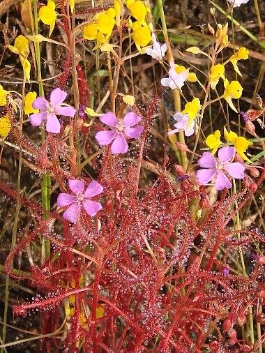 Dindica_flower
