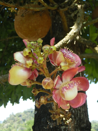 Canonball_flower