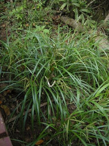 Carex1
