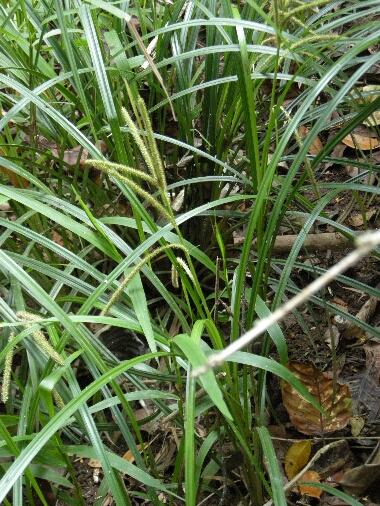 Carex3_2