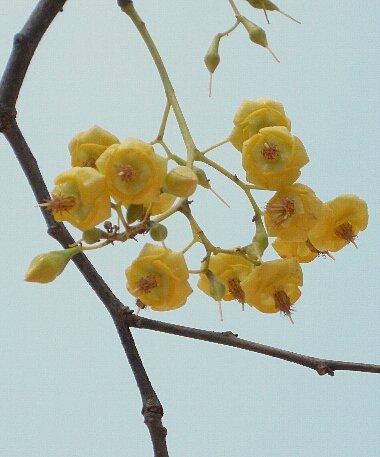 Shorea_siamensis_flower