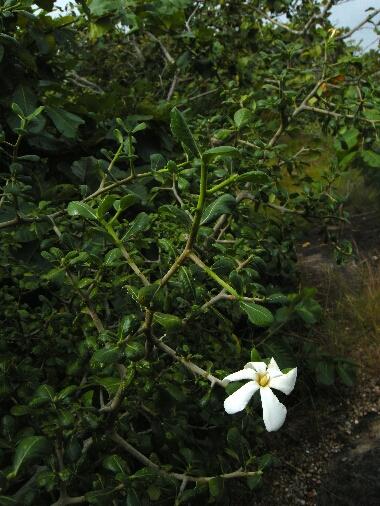 Gardenia_hygrophila