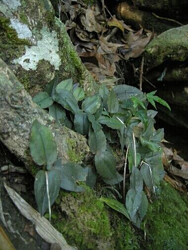 Goodyera_viridiflora2