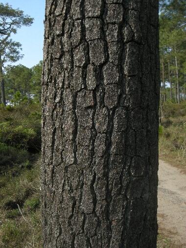 Pinus_murkusii2