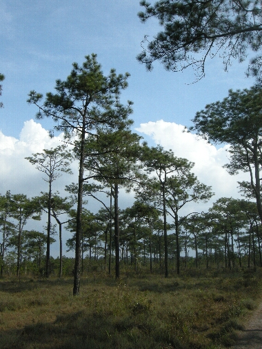Pinus_murkusii3