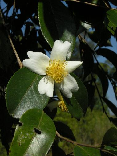 Camellia_sp5