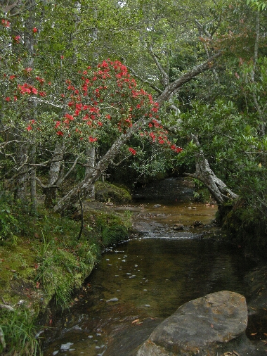 Rhododendron_simsii3