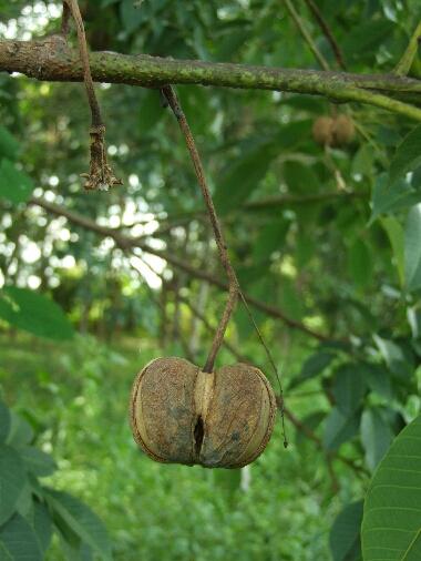 Para_rubber_fruit