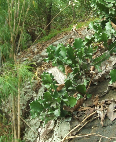 Euphorbia_antiquorum1