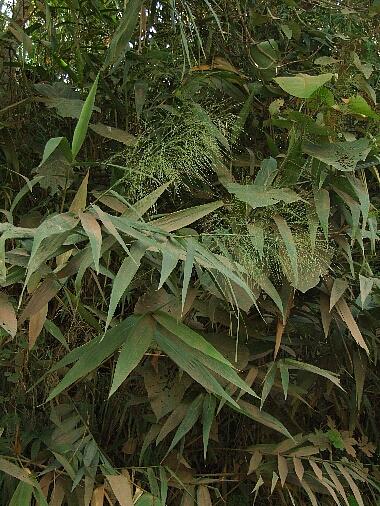 Tiger_grass