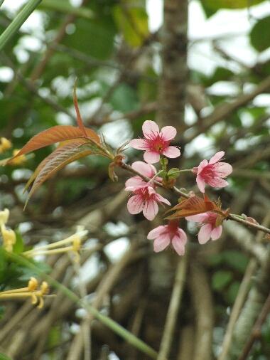 Prunus2