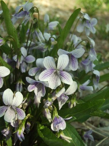 Harima_flower