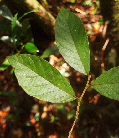 Dichapetalum