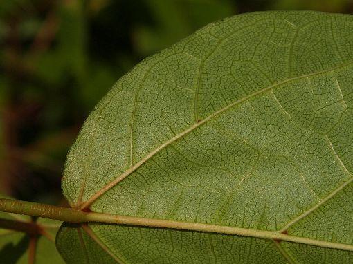 Ficus_laevis2