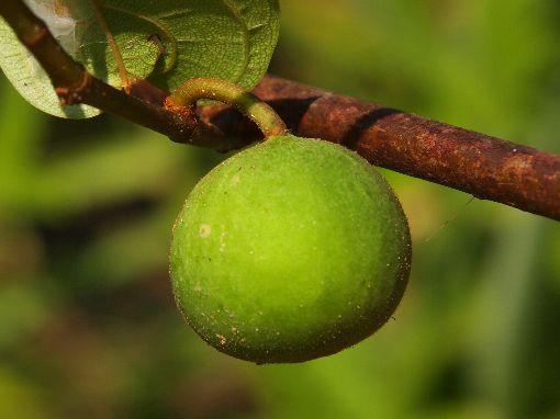 Ficus_laevis4