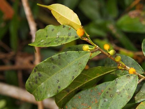 Ficus_heteropleura