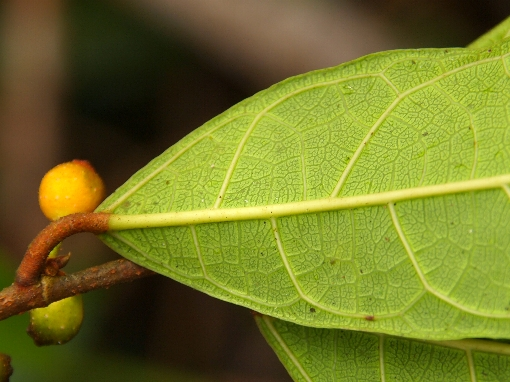 Ficus_heteropleura2