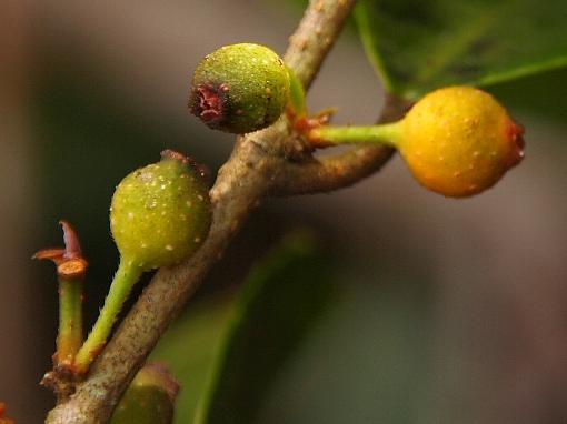 Ficus_heteropleura3