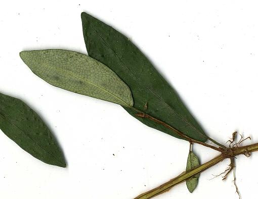 Ficus_punctata