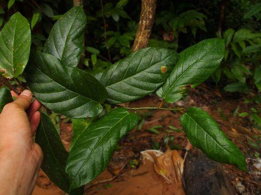 Ficus_sagitata