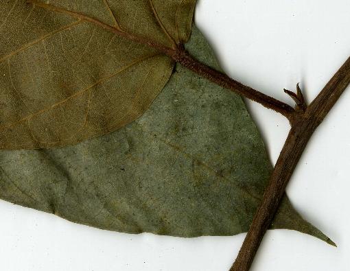 Ficus_sagitata4