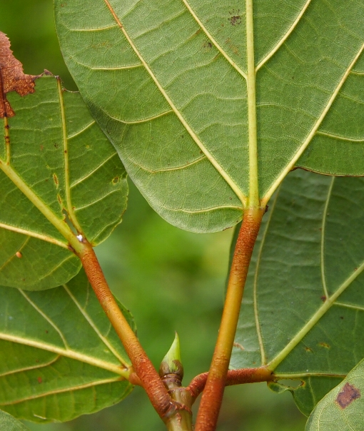 Ficus_variegata2
