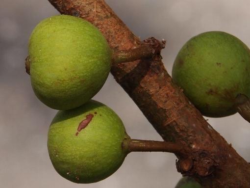 Ficus_variegata3