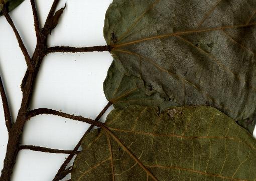 Ficus_variegata4