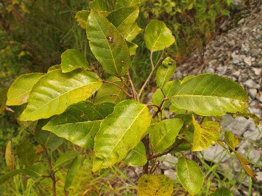Ficus_racemosa