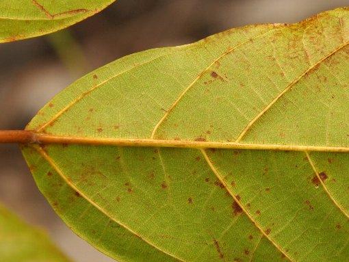 Ficus_racemosa2