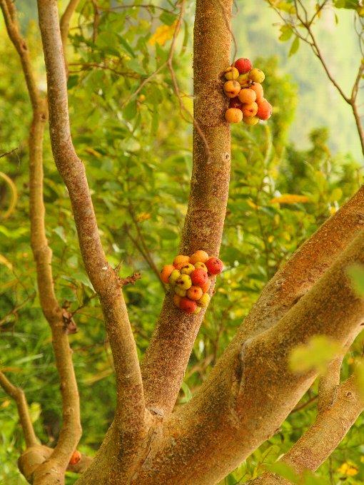 Ficus_racemosa3