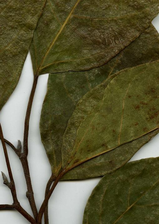 Ficus_racemosa_spe