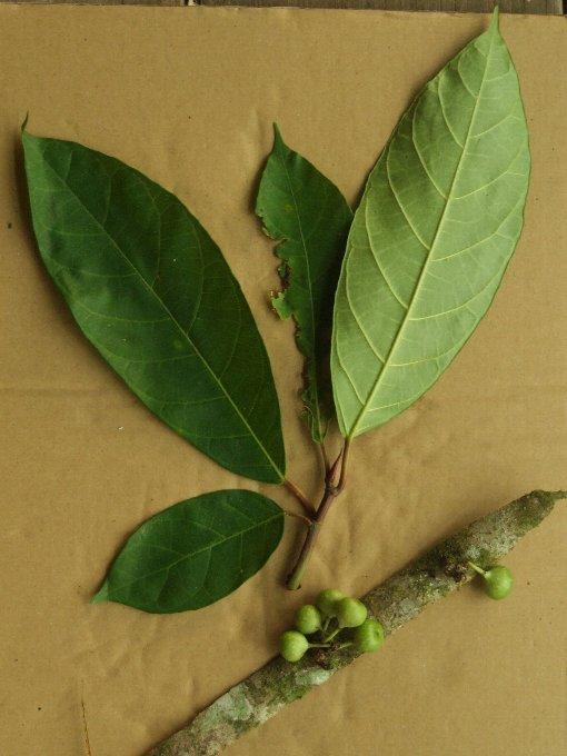 Ficus_fistulosa