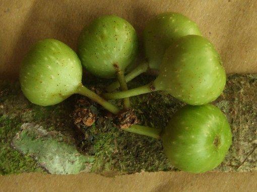 Ficus_fistulosa3