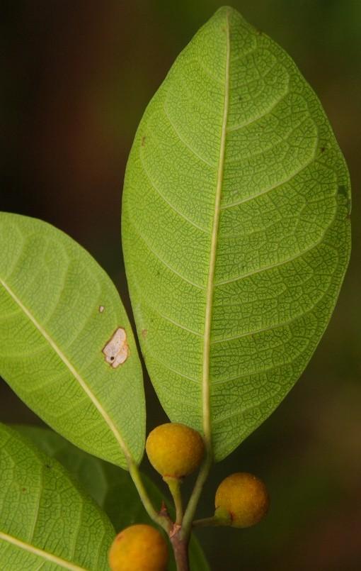 Ficus_vasculosa2