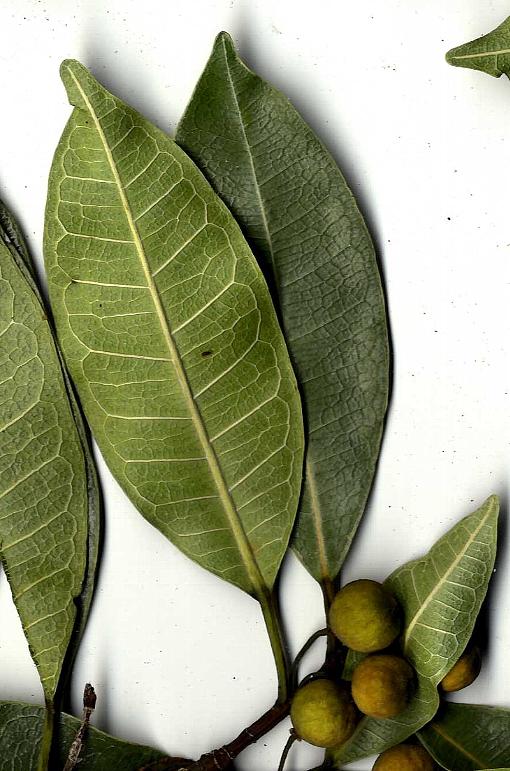 Ficus_vasculosa_spec