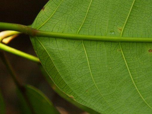 Ficus_callosa2