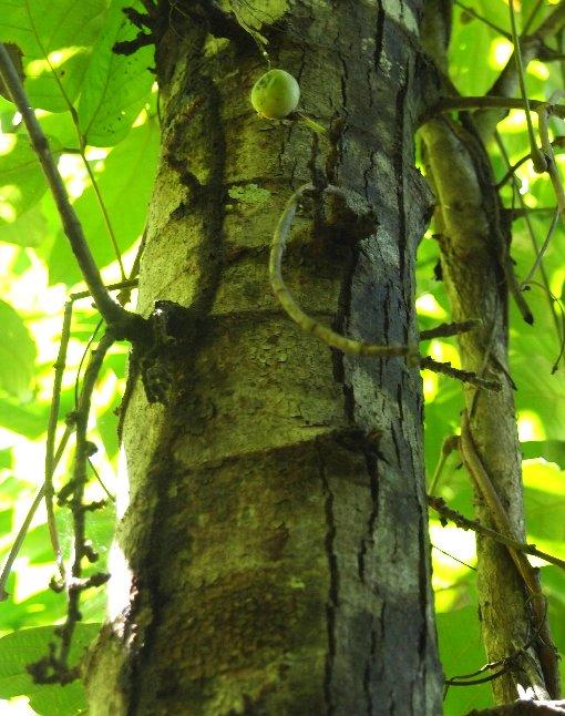 Ficus_hispida4