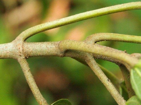 Ficus_hispida_3