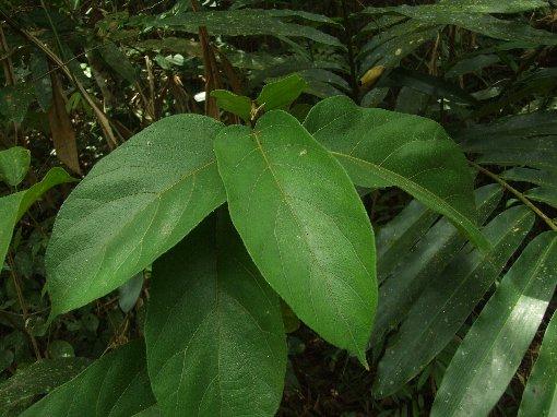 Ficus_heterostyla