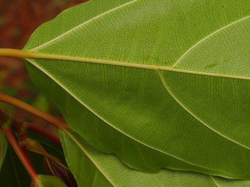 Ficus_auriculata_5